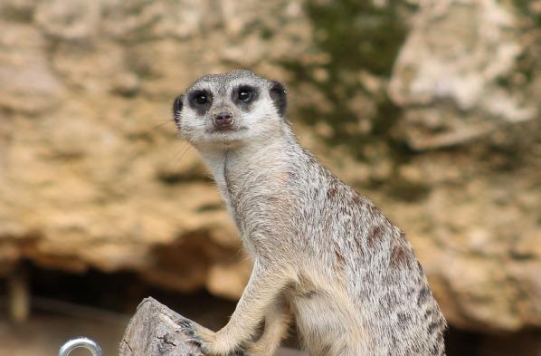 meerkat friend meme